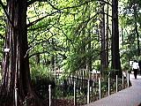 メタセコイアと木道