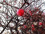 咲きはじめた紅梅