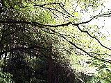 三宝寺池のエゴノキ