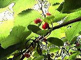 ナワシロイチゴ