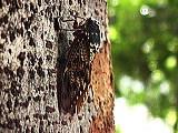 木にとまったアブラゼミ