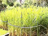 石神井氷川神社の稲