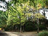 黄葉する木