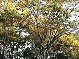 黄葉する木の葉