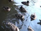 三宝寺池のカモたち