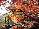 紅葉するメタセコイア