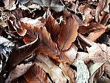 コナラの落ち葉