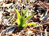 ノカンゾウの新芽