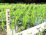 神田の対馬赤米