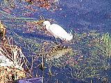 石神井川のコサギ