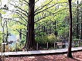 メタセコイア(ねりまの名木)
