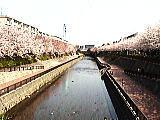 さくら咲く石神井川