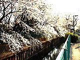 石神井川のさくら